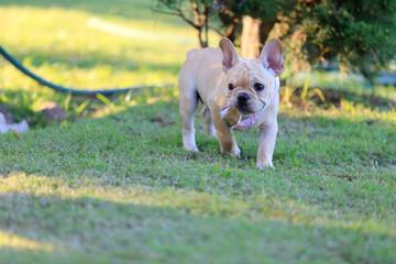 Portrait white french bulldog puppy Stand on grass