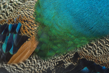 Colorful and beautiful peacock feathers. (Blue peafowl)