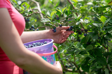female harvesting fresh berries on organic blueberry farm on warm and sunny summer day