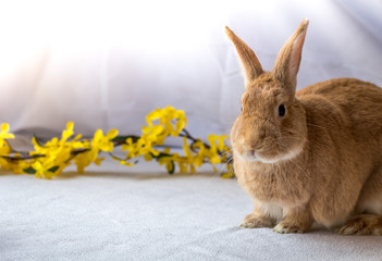 Bunny Rabbit in rufus color poses next to yellow forsythia flowers against light background, room for text