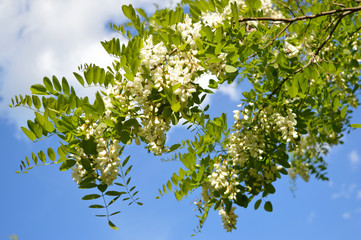 Branch of the flowering acacia tree on the background of the sky