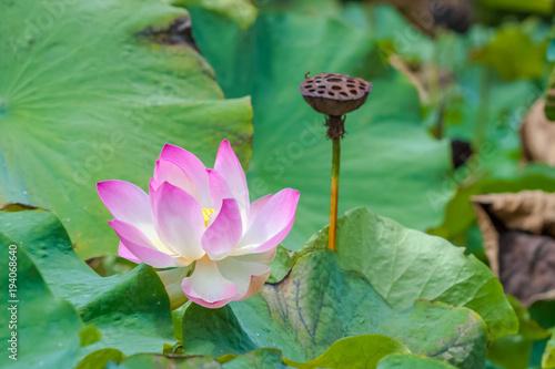 Fleur Rose De Lotus Jardin Des Pamplemousses Ile Maurice Stock