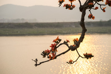 Branch of blossoming Bombax ceiba tree or Red Silk Cotton Flower in sunset with river on background