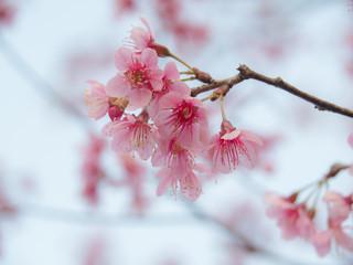 wild cherry blossom at Phu Lom Lo