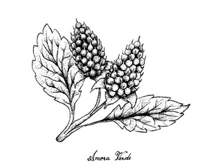 Hand Drawn of Amora Verde Berries on White Background