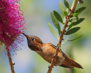 Title: Beautiful male Allen's hummingbird feeding on Callistemon flower.