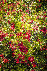 Holly Bush Filled with Red Berries in the Mountains by Julian, California