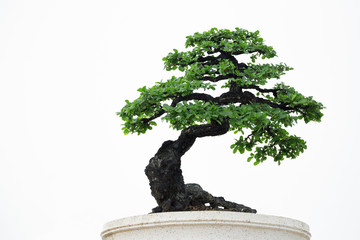 Bonsai tree on a white background.