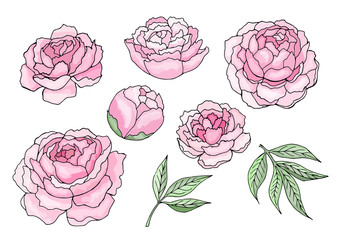 Pink peony flowers and leaves isolated clipart vector illustration