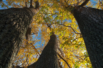 look up at the tops of the poplar trees on a Sunny autumn day