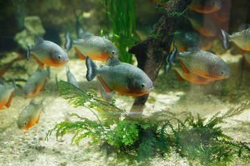 Flock of ferocious red-bellied piranhas behind the glass in the oceanarium.