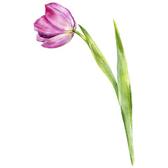 watercolor drawing pink tulip