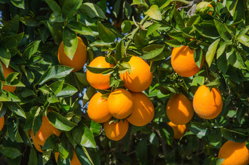 Branch with ripe oranges