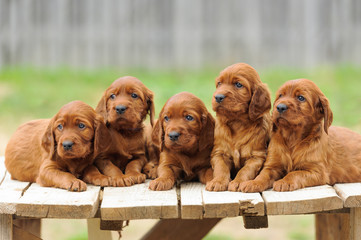 Five red setter puppies lie on wooden table