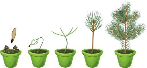 Plant growin from seed to young fir-tree in pot