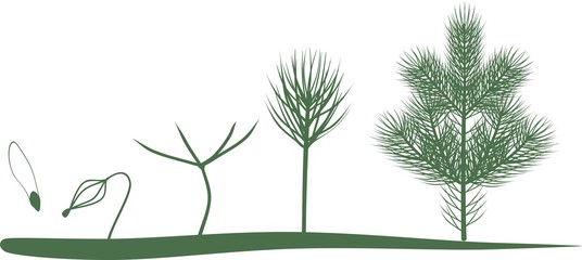 Green silhouettes of growth stages of fir from seed to young tree