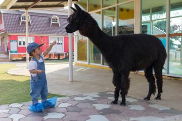 Asian cute baby girl feeding carrot for big black alpaca.