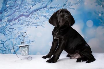 puppy cane Corso on winter backgroun