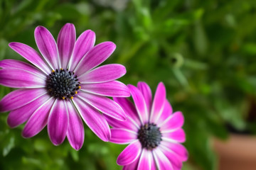 Two pink blue-eyed daisies (Osteospermum) on a green background