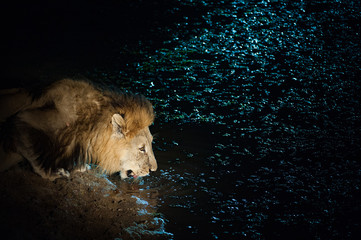 A horizontal, colour photograph of a male lion, Panthera leo, in the Greater Kruger Transfrontier Park, South Africa.