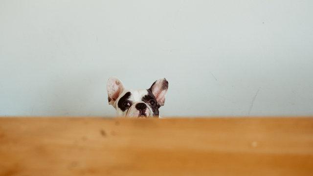Curiosity French Bulldog peeking the table from below.