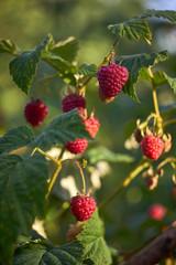 Raspberry in the sun.