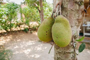 jackfruit in Uganda africa
