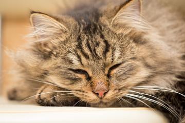 Furry Maine Coon cat sleeps