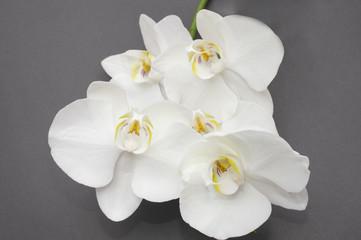 Autocollant pour porte Orchidée romantic branch of white orchid on gray background.