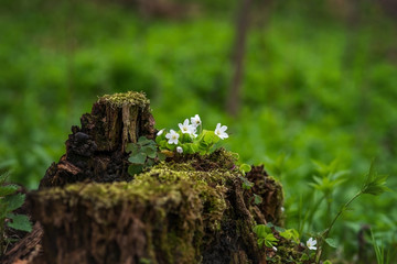 The first spring flowers in the forest.