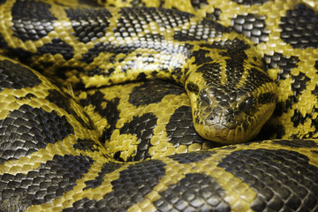 Burmese Python (python bivittatus) bundled close-up