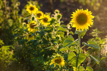 sunflower s in the summer day