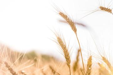 Ripe wheat in the field closeup
