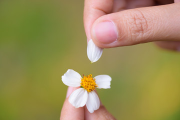 Close up woman hand tears off petals of daisy flower.