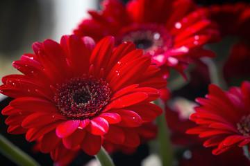 Red gerbera daisy; macro