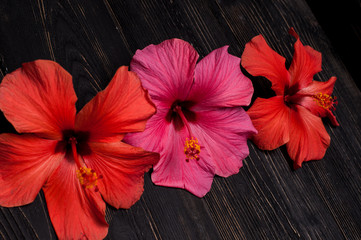 red hibiscus flowers on a black background
