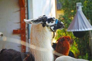 animal lama in the village, portrait