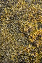 floating algae in landscape of Eggum to the Lofoten islands in Norway