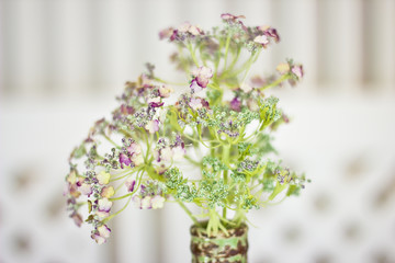 Flower angelica officinalis in a vase. White small flowers on a green aureole.