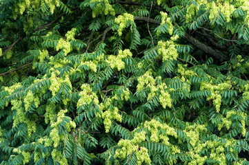 Acacia tree blossoming flowers on green leaves background, spring