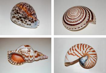 cypraea tigris,  architectonica perspectiva, charonia tritonis , nautilus shell