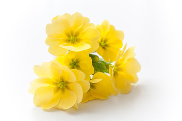 bouquet de primevères jaune sur fond blanc