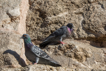 Pigeons are  sitting on the  rock