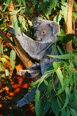 A koala sleeping on a eucalyptus gum tree in Australia