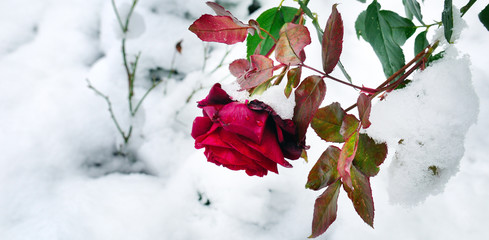 Delicate red rose in a flower bed covered with fresh snow. Wide photo .