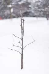 Young tree with no leaves in a winter snow