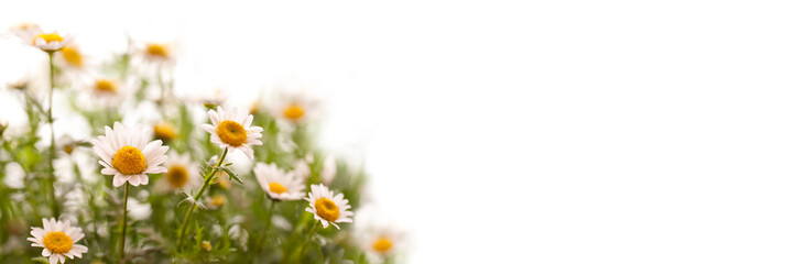 Close up on daisies, panoramic white background, spring concept