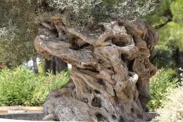 Alter Olivenbaum (Olea europaea) Insel Mallorca, Spanien, Europa