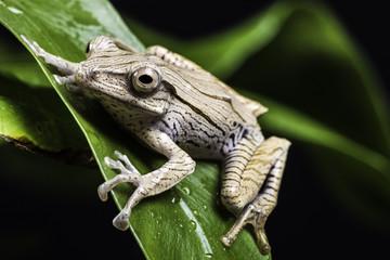 Borneo eared frog sitting on green leaf