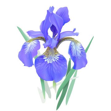 Iris flower, blue. Iris sibirica. Hand drawn vector illustration in realistic style, on white background.